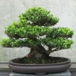 bonsai green